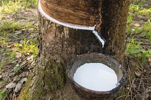 rubber sap